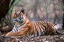 Adult female Bengal Tiger (Panthera tigris) resting. Ranthambhore NP, India.