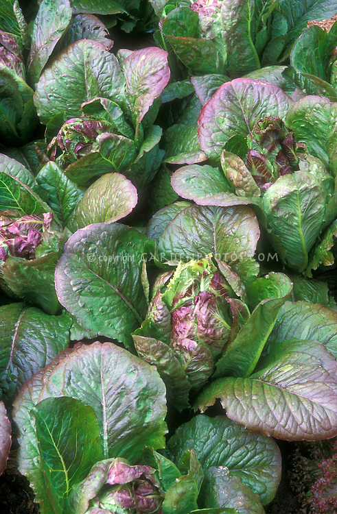 Pretty lettuces 'Rusty' growing in garden, a green and red tinged variety