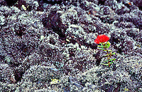 Native ohia flower growing on lichened lava (aa) on Saddle rd, in Hawaii