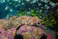 ornate wobbegong, Orectolobus ornatus, or Gulf wobbegong or banded wobbegong, Orectolobus halei, Fish Rock, South West Rocks, New South Wales, Australia, South Pacific Ocean