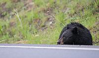 A black bear sow grazes near the road.