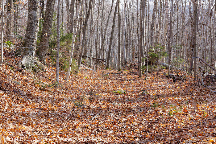 Leaf drop along the Little East Pond Trail in Livermore, New Hampshire. This section of the trail follows the old railroad bed of the Woodstock & Thornton Gore Railroad. Operated by the Woodstock Lumber Company, this was a logging railroad in operation from 1909-1914 (+/-).