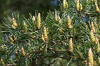 Wald-Kiefer, Waldkiefer, Gemeine Kiefer, Kiefer, Kiefern, Föhre, Blüte, Blüten, Pinus sylvestris, Scots Pine, Pine, Pines, Le Pin sylvestre