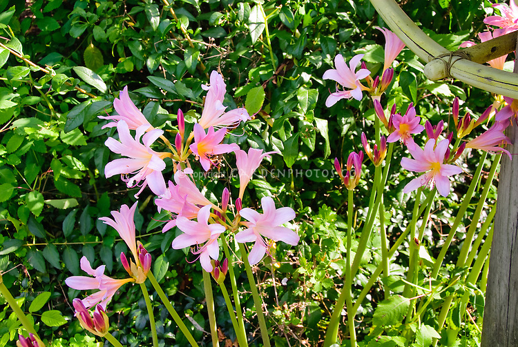 Lycoris squamigera Naked Ladies Magic Lily summer blooming bulbs pink flowers