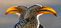 The Southern Yellow-billed Hornbill has a well-earned nickname: The Flying Banana.