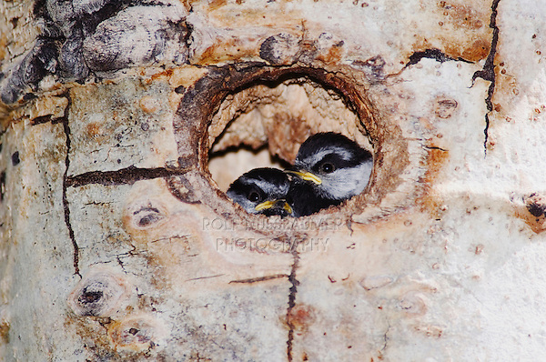 Mountain Chickadee, Poecile gambeli,young in nesting cavity in aspen tree, Rocky Mountain National Park, Colorado, USA, June 2007