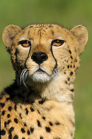Cheetah Portrait vertical