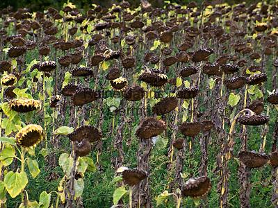 Italien, Umbrien, Sonnenblumen (verblüht) kurz vor der Ernte der Sonnenblumenkerne | Italy, Umbria, withered sunflowers before harvesting the sunflower seeds