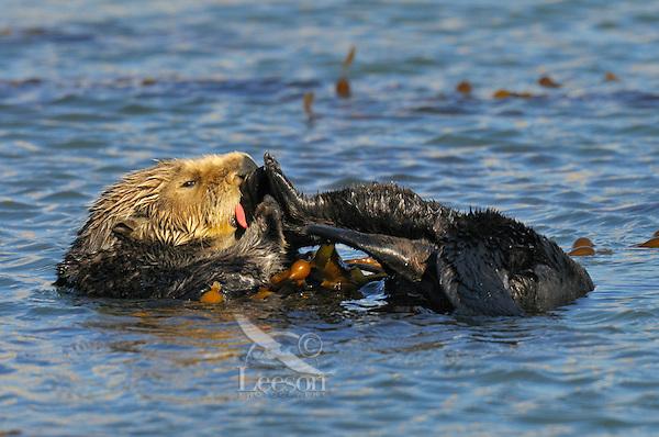 Sea Otter (Enhydra lutris) grooming while tied in kelp.