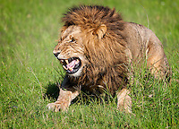 """Mating male Lion (Panthera leo) scents his mate using the """"Flamen"""" response - he draws air in over a gland located near the roof of his mouth - to determine whether the female is in heat.  Masai Mara, Kenya."""