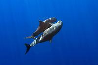 pygmy killer whales mating, Feresa attenuata, Hawaii, Pacific Ocean