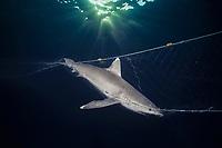 silvertip shark, Carcharhinus albimarginatus, hanging in commercial fishing net, Egypt - Red Sea.