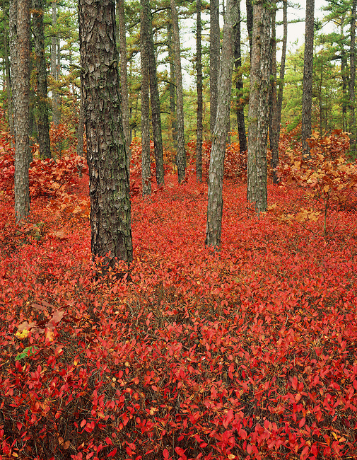 Huckleberries in fall color highlight understory of forest; Pine Barrens; Wharton State Forest; New Jersey