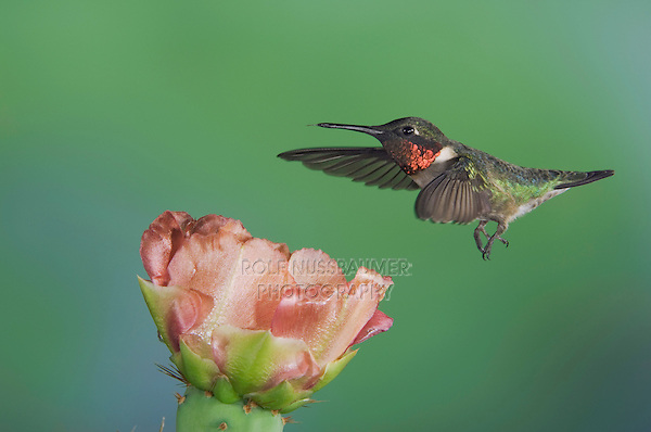 Ruby-throated Hummingbird, Archilochus colubris, male in flight feeding on Texas Prickly Pear Cactus (Opuntia lindheimeri), Uvalde County, Hill Country, Texas, USA