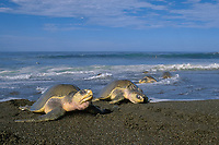 female olive ridley sea turtles, Lepidochelys olivacea, come ashore to nest during arribada mass nesting Ostional, Costa Rica, Pacific Ocean