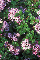 Syringa Prince Charming aka Bailming, lilac bush in bloom in spring flowers, littleleaf type shrub