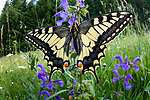 Wide angle view of common swallowtail butterfly (Papilio machaon) meadow clary (Salvia pratensis) in alpine meadow. Nordtirol, Tirol, Austrian Alps, Austria, 1600 metres altitude, June.