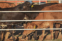 Calf, heifer or head of cattle in paddock, corral for livestock, during the rodeo circuit in the new arena El Shejon with the participation of the brands Corona Buckles, Sonora Saddlery and Cas Cov Rodeo on July 17, 2021 in Carbo, Mexico. ...<br /> (Photo: Luis Gutierrez / NortePhoto.com)<br /> <br /> Becerro, vaquilla o cabeza de ganado en potrero, corral para ganaderia, durante el circuito de rodeo en la nueva arena el Shejon con la participacion de la marcas Corona Buckles, Sonora Saddlery y Cas Cov Rodeo el 17 julio 2021 en Carbo, Mexico.....<br /> (Photo: Luis Gutierrez / NortePhoto.com)