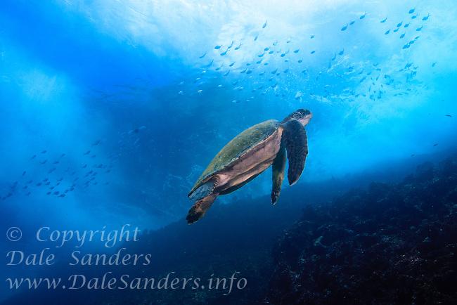 Green Sea Turtle (Chelonia mydas) swims underwater off Gorden Rocks in the Galapagos Islands of Ecuador.