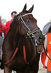 8 August 2009: DYNAFORCE enters the paddock for the 20th running of the G1 The Beverly D. at Arlington Park in Arlington Heights, Illinois.