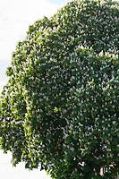 Gewöhnliche Rosskastanie, Rosskastanie, Ross-Kastanie, Kastanie, blühend, Blüten, Aesculus hippocastanum, Horse Chestnut, horse-chestnut, conker tree, leaf, leaves, Le marronnier commun, marronnier d'Inde, marronnier blanc