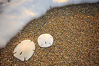 Sand dollars on beach, Jupiter Island, Florida, Atlantic Ocean