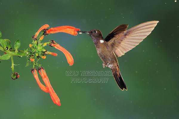 Brown Inca (Coeligena wilsoni), adult feeding from flower,Mindo, Ecuador, Andes, South America