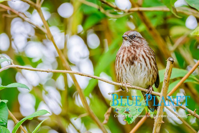 Song Sparrow, Melospiza melodia, George C. Reifel Migratory Bird Sanctuary, Delta, British Columbia, Canada