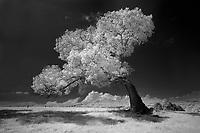 A leaning oak on Belmont Farm in Keswick, VA.
