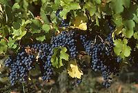 Europe/France/Pays de la Loire/Maine-et-Loire/Brissac : AOC Coteaux de l'Aubance, le vignoble