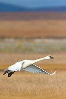 Tundra swan migrate through Solomon, Seward Peninsula, western Arctic, Alaska, during the autumn migration.