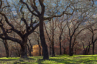 Dead shrubery understory (Manzanita) and charred Oak trees, Fire damage and recovery from Nuns fire October 2017, Sonoma Valley Regional Park, California