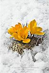 Crocus, Crocus vernus,  in Late Spring Snow
