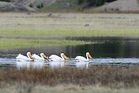 Yellowstone Pelican Creek pelicans