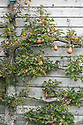 """An espalier-trained pear tree at Great Dixter, mid October. Christopher Lloyd's mother, Daisy, called it """"the dumb blonde: pretty to look at but not much use""""."""