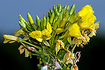 Common evening primrose, close-up flower head on top of plant