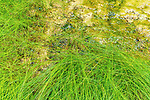 Grass grows lush in nutrient rich overflow waters of Ohanepcosh Hot Springs, Mount Rainier National Park.