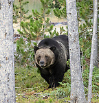 Grizzly bears can sometimes be seen in Yellowstone National Park.