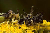 AM02-003x   Ambush Bug sucking fluid from prey - honeybee  -  Phymata americana