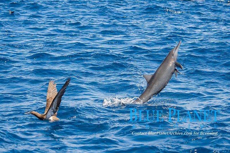 Central American Spinner Dolphin, Stenella longirostris centroamericana, breaching with small Remora attached, Costa Rica, Pacific Ocean