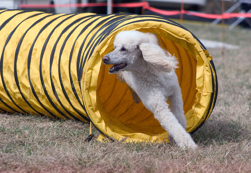 Standard Poodle (PR) exiting a tunnel in an agility competition in Charlotte, NC.