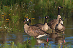 Family of Canada geese in a wetland in northern Wisconsin.