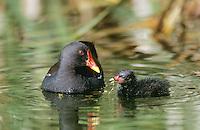 Teichralle, Altvogel füttert Küken, Teich-Ralle, Grünfüssiges Teichhuhn, Teich-Huhn, Gallinula chloropus, moorhen