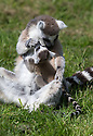 """16/05/16<br /> <br /> """"Time to give you a wash little one""""<br /> <br /> Three baby ring-tail lemurs began climbing lessons for the first time today. The four-week-old babies, born days apart from one another, were reluctant to leave their mothers' backs to start with but after encouragement from their doting parents they were soon scaling rocks and trees in their enclosure. One of the youngsters even swung from a branch one-handed, at Peak Wildlife Park in the Staffordshire Peak District. The lesson was brief and the adorable babies soon returned to their mums for snacks and cuddles in the sunshine.<br /> All Rights Reserved F Stop Press Ltd +44 (0)1335 418365"""