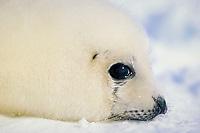 white coat harp seal pup, Pagophilus groenlandicus (formerly Phoca groenlandica), Magdalen Islands, Nova Scotia, Canada, Arctic