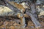 Leopard, Sabi Sands Game Reserve, South Africa