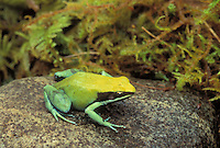 GREEN MANTELLA..Native to northern Madagascar..Captive. (Mantella viridis).