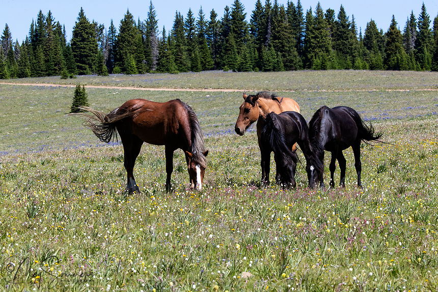 Missoula small band has been very stable. He is the sorrel, Pegasus is the black mare with the white star with a drip.  She is the daughter of Galaxy. With her is her black colt Traveler (2019) and 24 year old Rosarita, the dun.