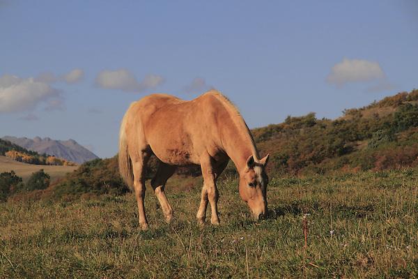 Golden horse grazing the the San Juan Mountains near Telluride, Colorado, USA.