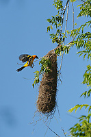Altamira Oriole (Icterus gularis), adult landing at hanging nest, Laguna Atascosa National Wildlife Refuge, Texas, USA
